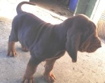 Bloodhound pup standing